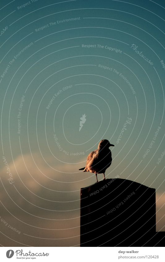 The last Mohican Bird Seagull Animal Hover Jetty Fence Wood Sunset Twilight Beak Feather Clouds Turquoise Green Red Yellow White Beautiful Sky Wing Flying Coast