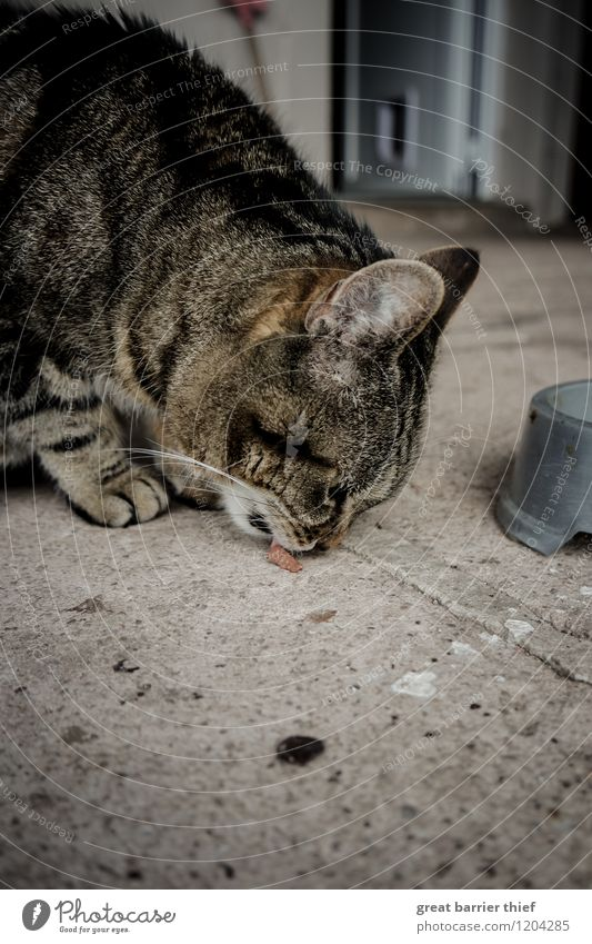 The insatiability of the cat animal Animal Pet Cat Animal face Pelt Paw 1 Eating To feed Natural Feminine Brown Gray Appetite Thirst To enjoy Floor covering