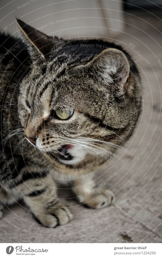 My food, my prey Animal Pet Cat Pelt 1 Stone Observe Eating Aggression Threat Brash Brown Gray Aggravation Grouchy Animosity Eyes Colour photo Multicoloured