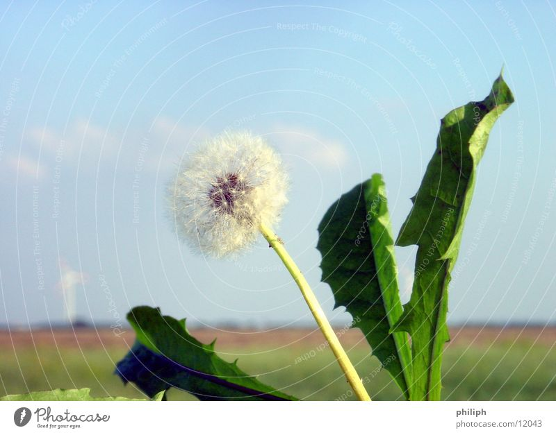 Sky Blue Dandelion