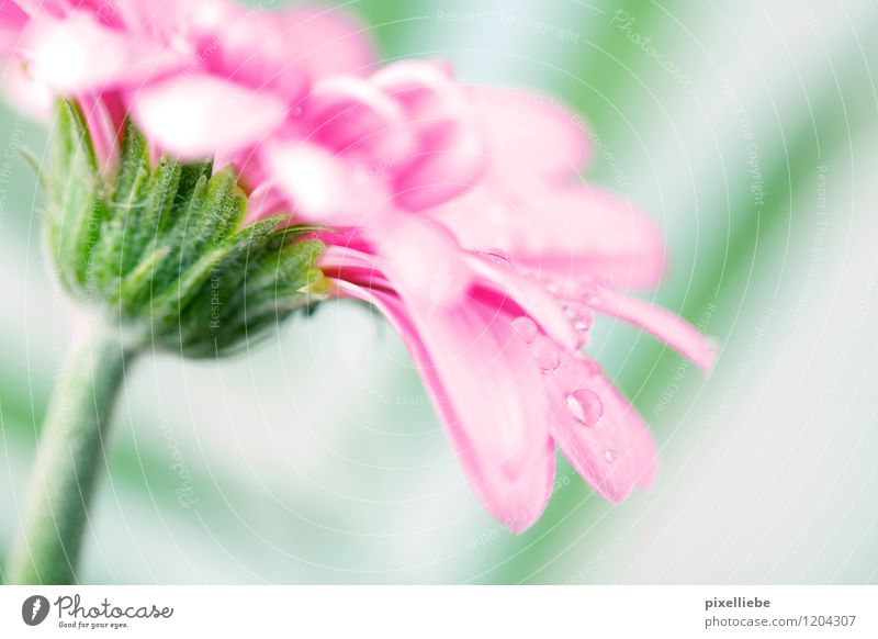 Nature Plant Green Summer Flower Spring Blossom Meadow Natural Garden Bright Pink Rain Drops of water Blossoming Wet