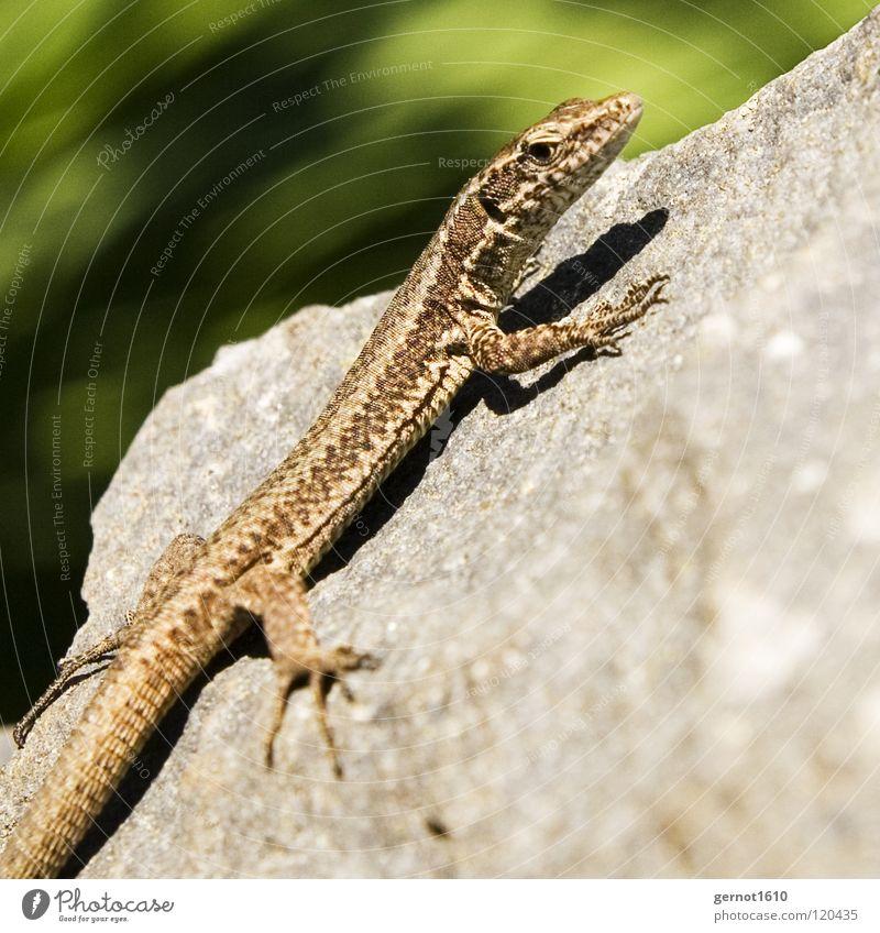 Sun Blue Summer Animal Stone Warmth Brown Climbing Catch Curiosity Radiation Barn Reptiles Claw Saurians Lizards