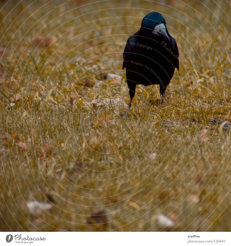 Sunday stroll Bird Raven birds Crow Black White Yellow Green Red To go for a walk Meadow Grass Tree Autumn Physics Cold Calm Loneliness Feather Beak In transit