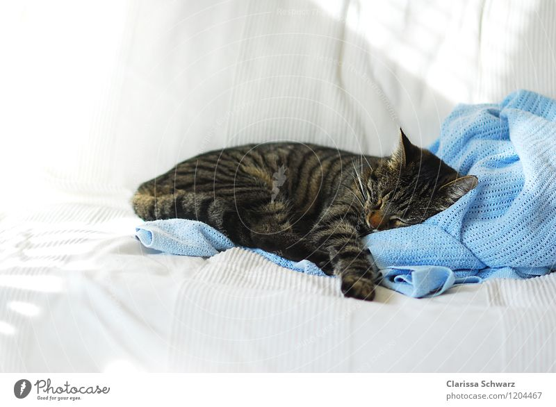 Sleeping cat Animal Pet Cat 1 Blue White Sofa Flat (apartment) Favorite place Pelt Safety (feeling of) Dream Cuddling Siesta Rest Domestic cat Warm-heartedness