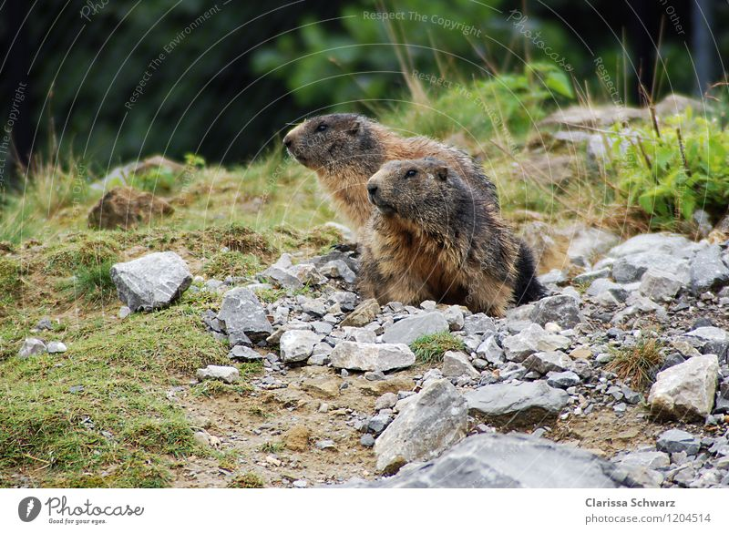 marmot Nature Landscape Alps Mountain Animal Wild animal Marmot Brown Green Earth hole Ground squirrel Rodent Pelt High mountain region To hibernate Switzerland