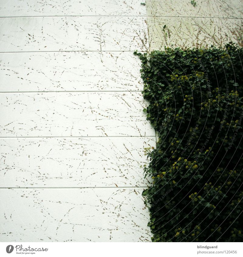 ePfui Ivy Tendril Plant Wall (barrier) Wall (building) Growth Painting (action, work) Remainder Going Square Graphic Concrete Wallpaper Leaf Gray White Gloomy