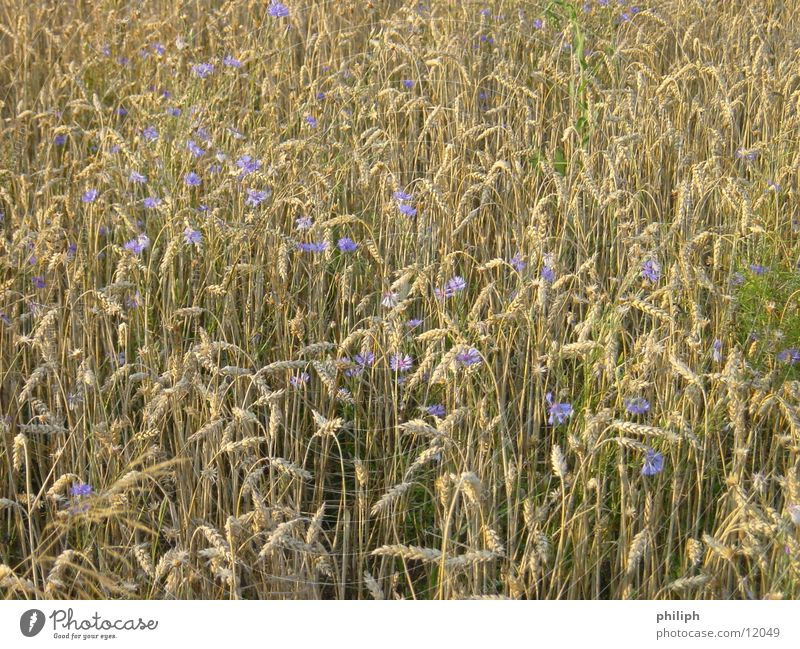 Flower Field Grain Barley