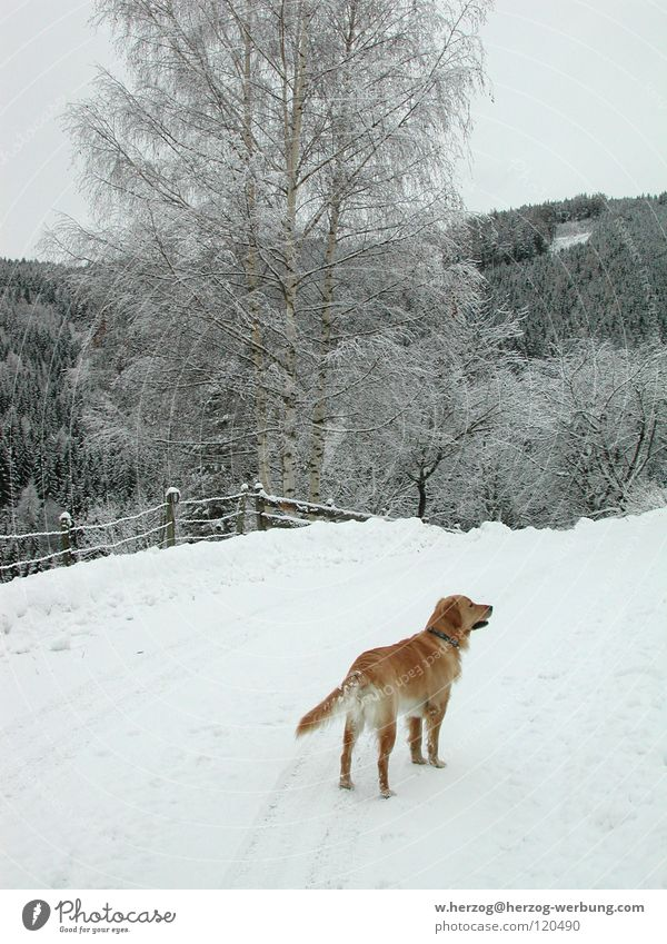 Dog in winter1 Winter Forest Golden Retriever Leisure and hobbies Animal Mammal Snow Mountain