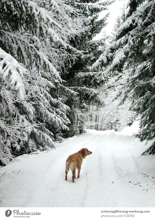 Dog in winter forest Winter Winter forest Forest Golden Retriever Snow To go for a walk Frost