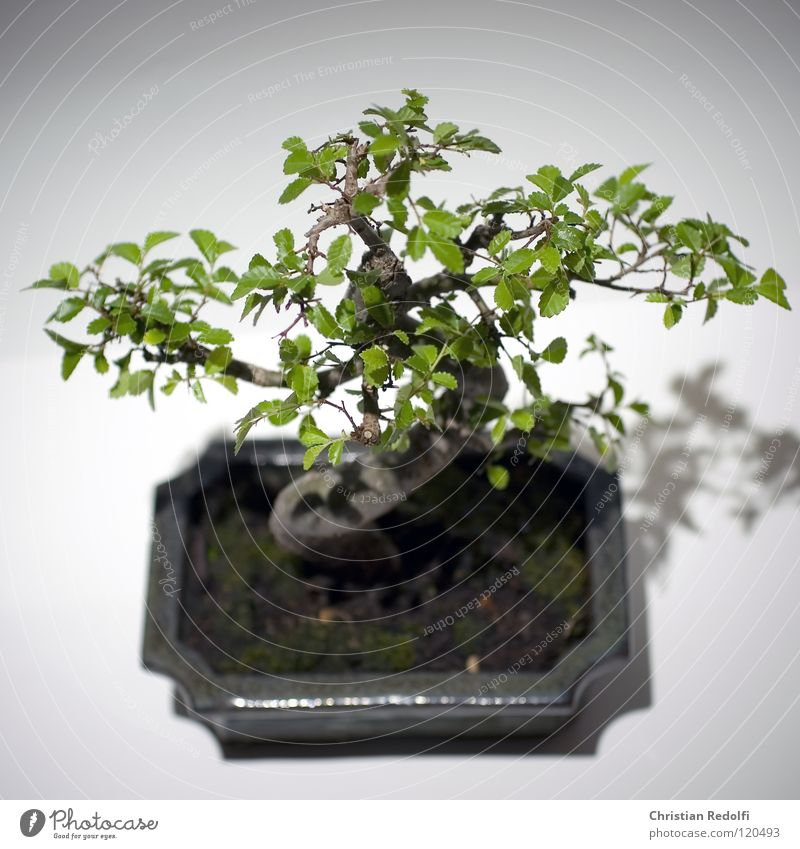 Tree Asia China Japan Tree trunk Dragon Harmonious Bowl S Miniature Bonsar