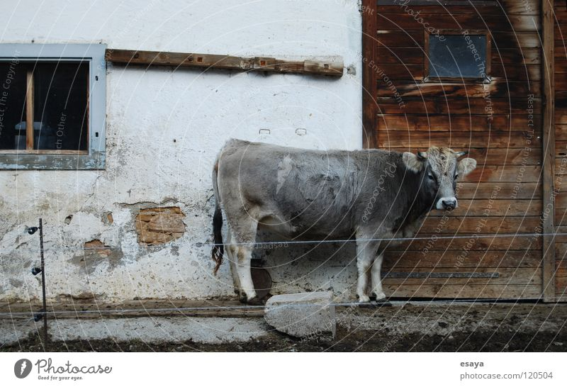 cow profile Cow Barn Farm Cattle Country life Grief Loneliness Gray Switzerland
