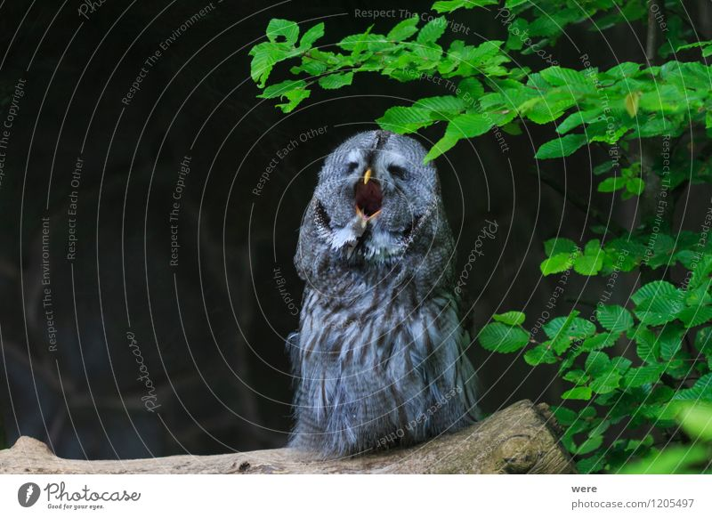 Good night owl Hunting Nature Plant Animal Grass Forest Wild animal Bird Owl birds 1 Stripe Scream Watchfulness Self Control Fatigue Environmental protection