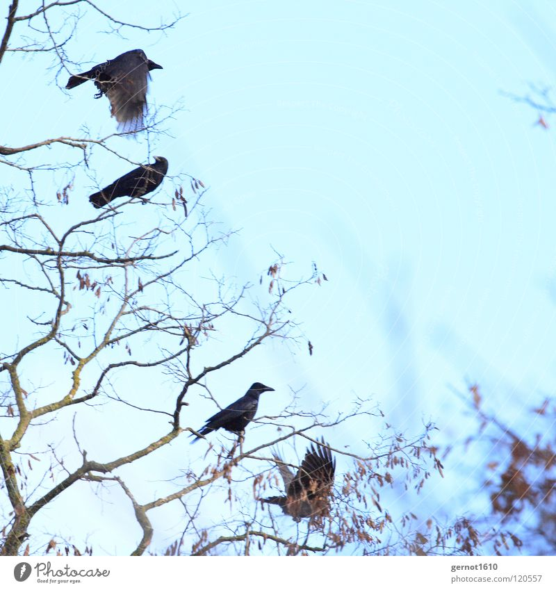 cursed Raven birds Crow Common Raven Carrion crow Black Tree Winter Cold Bird Branch Flying Escape Blue Sky