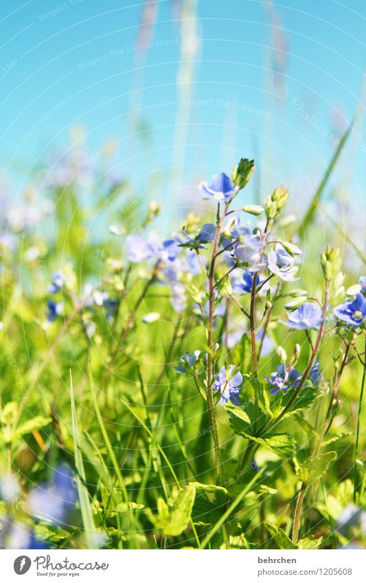 a day in summer... Nature Plant Sky Spring Summer Beautiful weather Flower Grass Leaf Blossom Wild plant Veronica Garden Park Meadow Blossoming Fragrance Growth