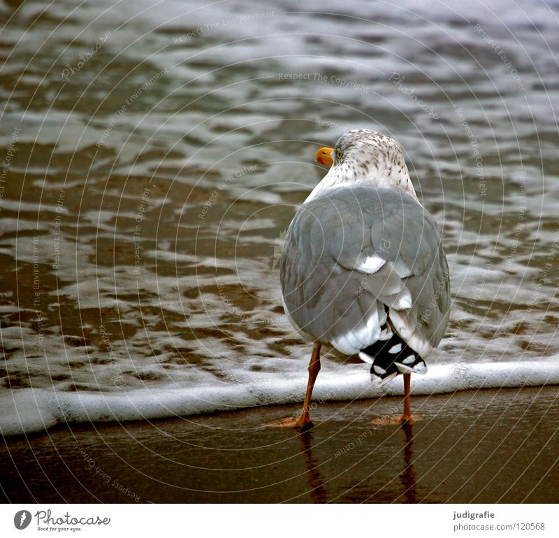 Water Ocean Beach Vacation & Travel Colour Lake Sand Bird Coast Wait Feather Longing Baltic Sea Seagull Beak White crest