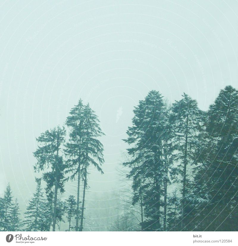 firs Fir tree Tree Forest Winter Cold Fog Black Forest Treetop Fir branch Far-off places Slope Steep White Leisure and hobbies Background picture Horizon