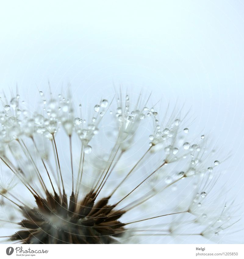 dribbled... Environment Nature Plant Drops of water Spring Rain Flower Wild plant Dandelion Seed Park To hold on Glittering Faded Growth Esthetic Exceptional