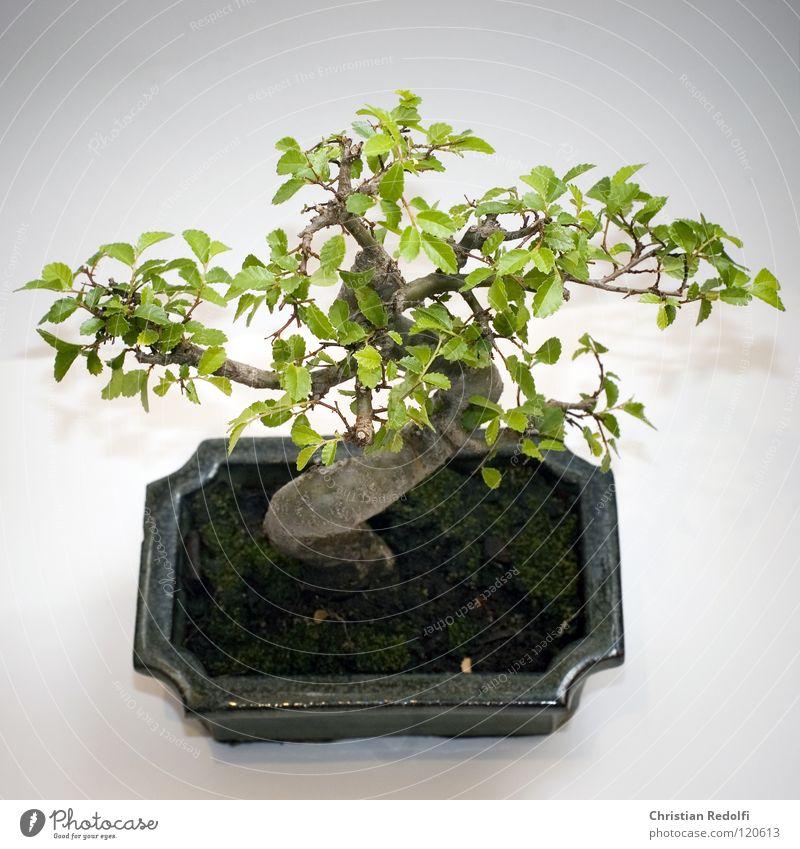 bonsai Bonsar Asia Tree S China Japan Harmonious Miniature Isolated Image Shadow Tree in shell Bowl Bonsai Bowl dwarf tree trunk Tree trunk ?tribe Zen culture