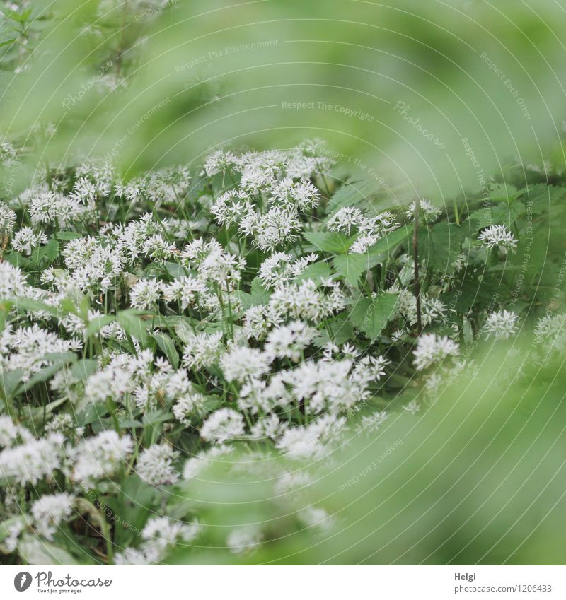 in the bear's garlic forest... Environment Nature Landscape Plant Spring Flower Leaf Blossom Wild plant Club moss Forest Blossoming Growth Exceptional Fragrance