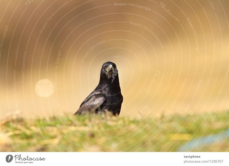 crow looking at the camera Nature Green Animal Dark Black Warmth Meadow Bird Park Wild Feather Ground Lawn European Camera Beak
