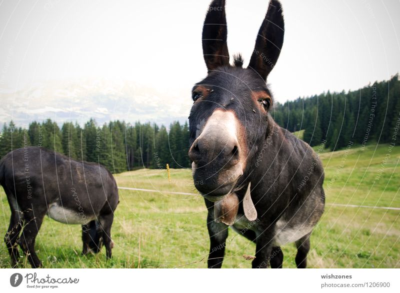 Donkey Portrait Vacation & Travel Trip Summer vacation Mountain Nature Landscape Animal Meadow Forest Hill Alps Animal face Pelt 2 Pair of animals Curiosity