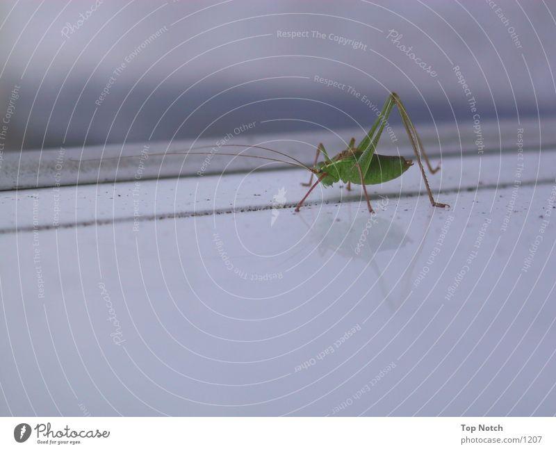 Animal Frightening Locust