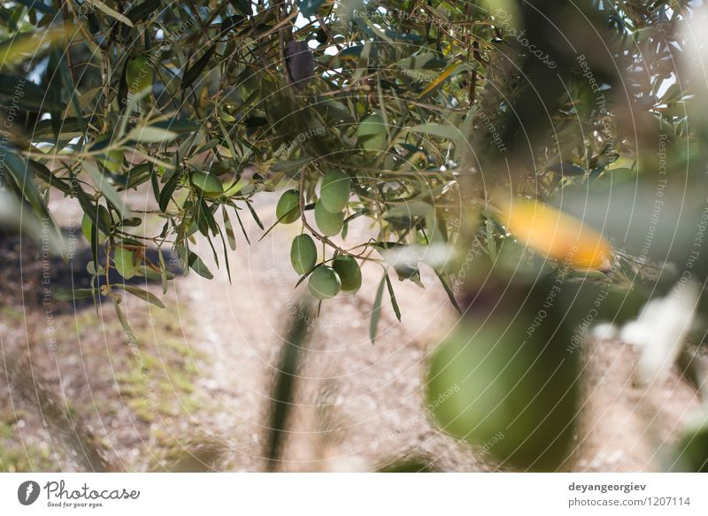 Olive branches on foreground. Nature Plant Green Tree Landscape Leaf Natural Garden Fruit Fresh Italy Seasons Spain Vegetable Harvest Agriculture