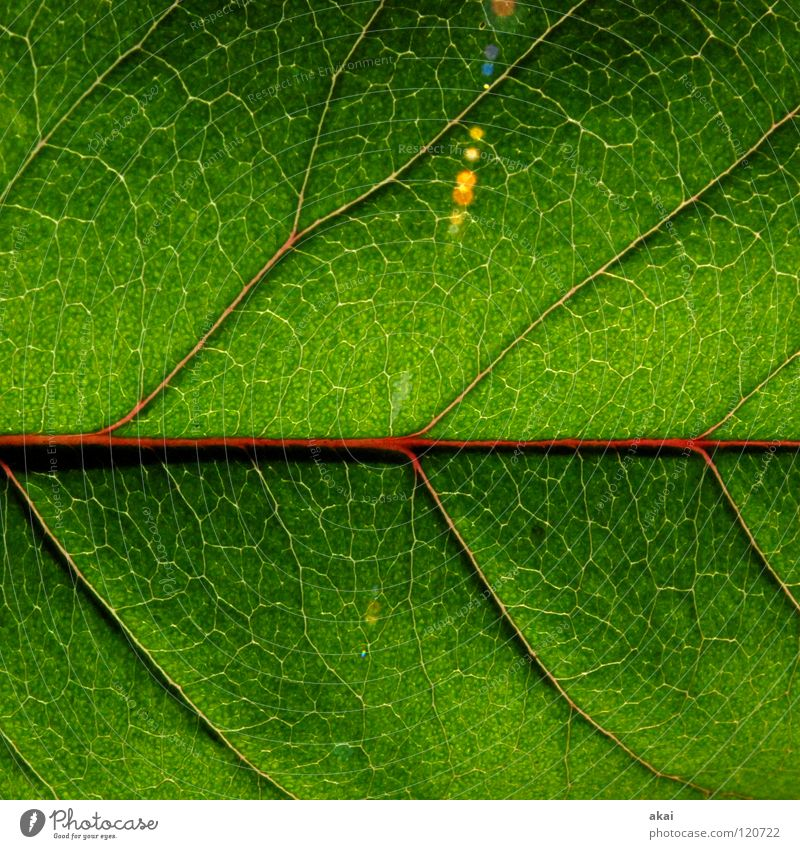 The sheet 25 Plant Green Botany Part of the plant Verdant Macro (Extreme close-up) Close-up Nature Rachis Underside of a leaf Branched Foliage plant cherry leaf