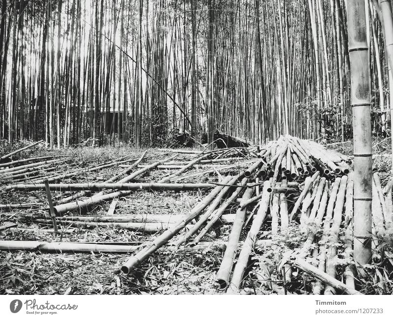 Harvest 2010. Agriculture Forestry Environment Nature Plant Bamboo stick Japan Lie Growth Esthetic Natural Gray Black Storage Black & white photo Exterior shot