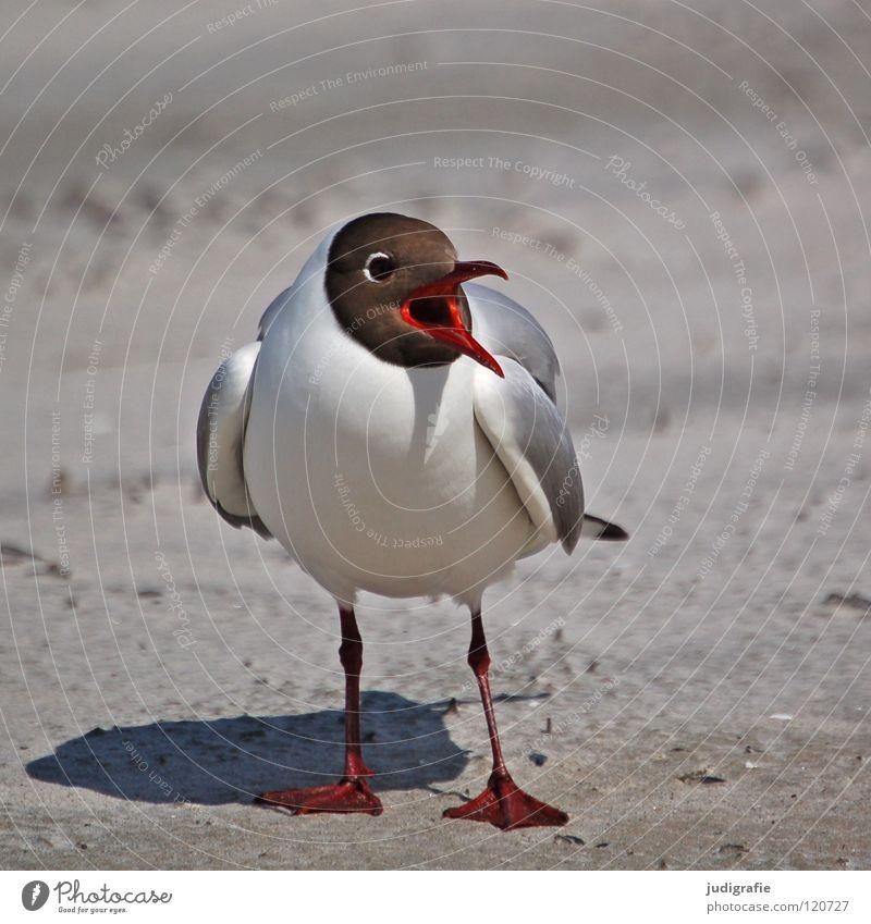 black-headed gull Beak Black-headed gull  Seagull Bird Summer Beach Ocean Lake Vacation & Travel Feather Fischland Western Beach Ornithology Environment Anger