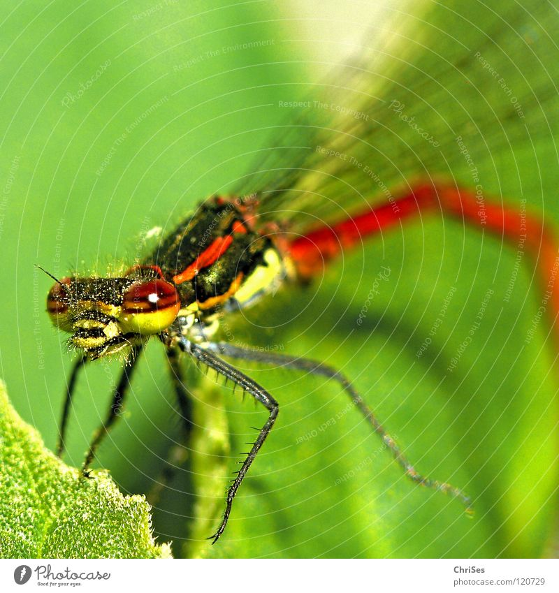 Nature Green Red Summer Animal Yellow Eyes Hair and hairstyles Stripe Insect Grimace Dragonfly Northern Forest Articulate animals Small dragonfly