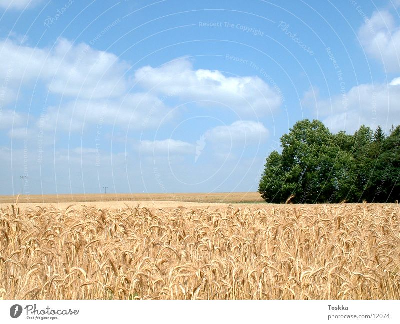 Nature Tree Green Clouds Grain Cornfield Ear of corn Sky blue Edge of the forest