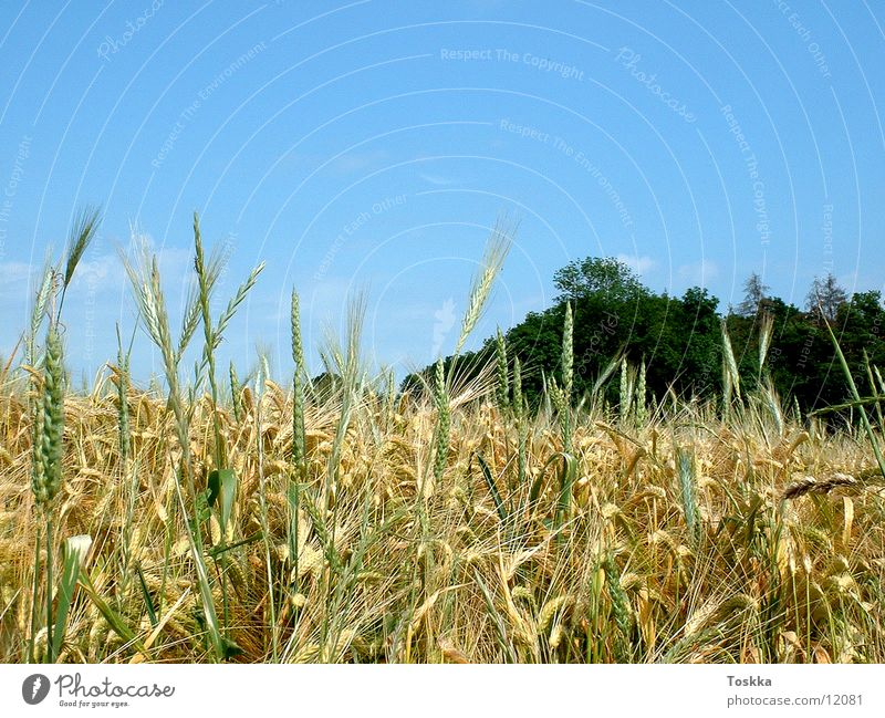 grain field start Sky blue Tree Green Clouds Cornfield Grain honour Nature Blue