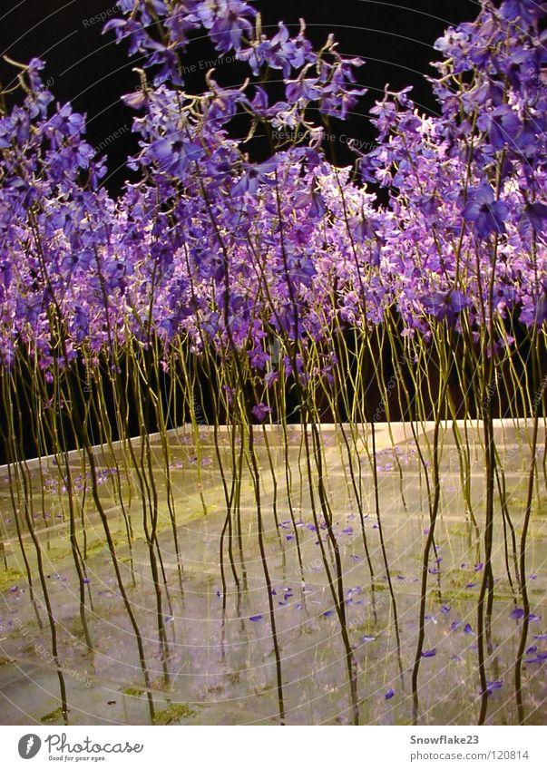 Nature Beautiful Flower Blue Dream Delicate Longing Delphinium Dark background