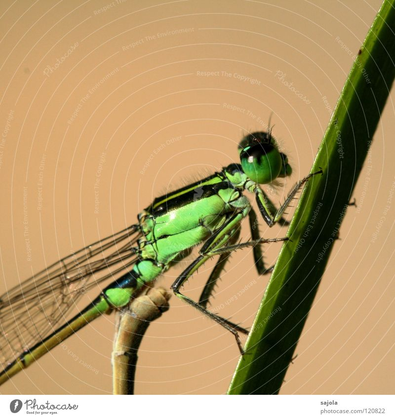 small dragonfly IV Animal Animal face Wing 1 Observe To hold on Looking Wait Thin Green Small dragonfly Dragonfly Bright green Compound eye Eyes Legs