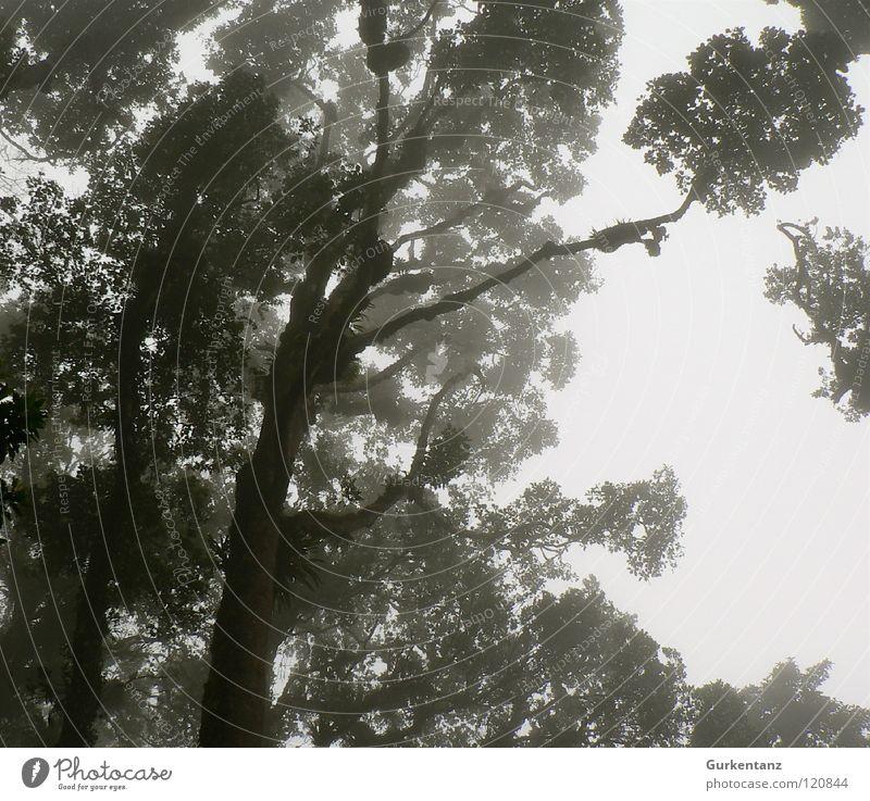 Blackwood Forest Virgin forest Tree Leaf Treetop Black & white photo Borneo Tree trunk