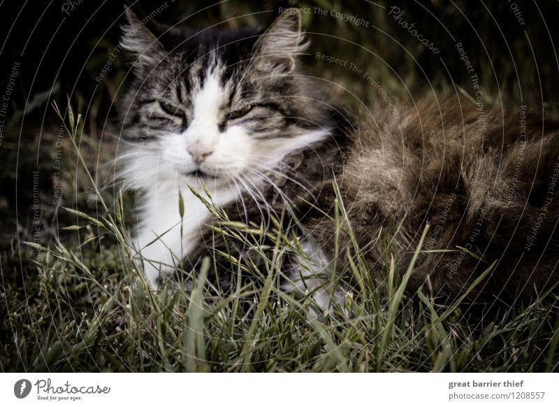 Cat Green Relaxation Animal Eyes Meadow Natural Grass Brown Lie Elegant Sleep Break Pelt Pet Animal face