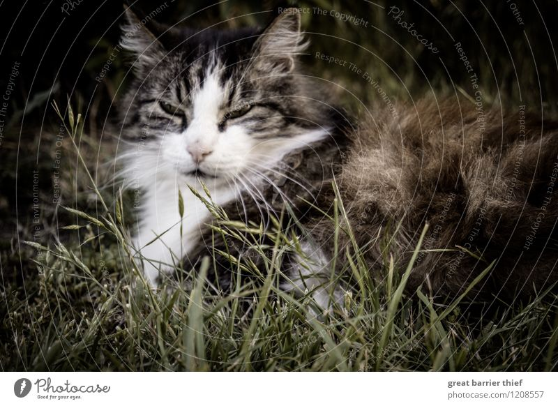 Cosy cat Animal Pet Cat Animal face Pelt 1 Relaxation Lie Sleep Elegant Natural Brown Green Fatigue Exhaustion Break Meadow Grass Eyes Colour photo