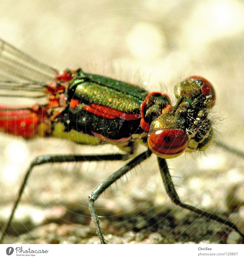 Nature Green Red Summer Animal Yellow Eyes Hair and hairstyles Stripe Insect Grimace Dragonfly Northern Forest Articulate animals Small dragonfly Narrow-winged damselfly