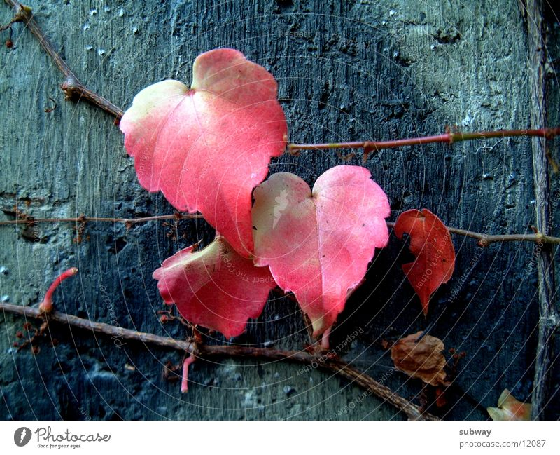 Nature Old Plant Red Leaf Life Cold Wall (building) Wall (barrier) Metal Concrete Hope Growth Mysterious Ruin Shabby