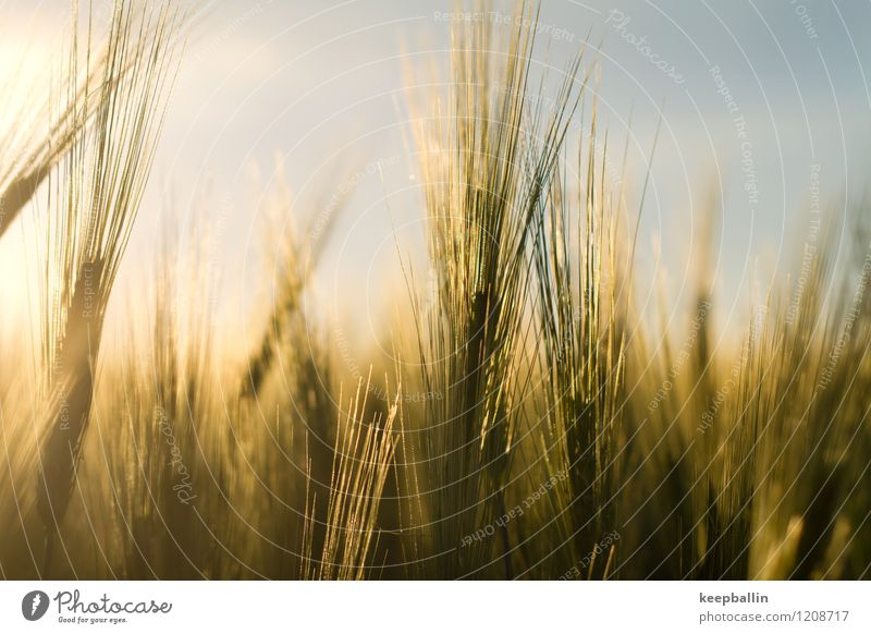 Nature Plant Green Landscape Environment Yellow Warmth Spring Freedom Field Gold Bushes Beautiful weather Baltic Sea Sustainability Agricultural crop