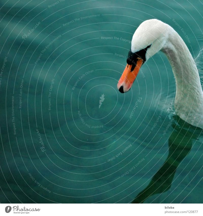 Just a quick look inside... Swan White Long Beak Black Deep Green Reflection Lake Bird Animal Square Waves Swan Lake Water Neck Orange Feather Looking Lake Thun