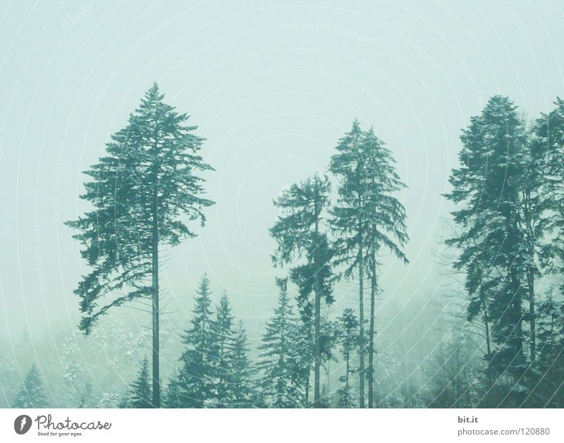 LOTHAR VETERANS Fir tree Tree Forest Winter Cold Fog Black Forest Treetop Fir branch Alpine White Background picture Horizon Loneliness Clean Fresh Light