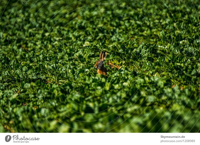 Rabbit in field same as hare Environment Nature Landscape Plant Animal Sunlight Summer Climate Climate change Weather Beautiful weather Agricultural crop Meadow