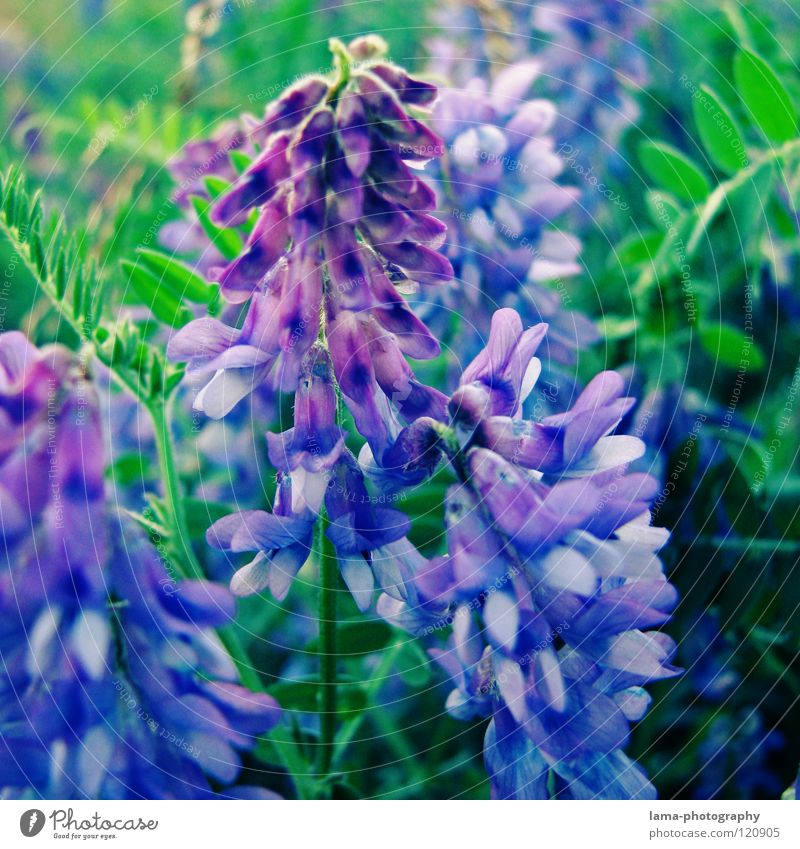 Unknown splendour Flower Plant Meadow Flower meadow Spring Summer Blossom Growth Flourish Sprout Lavender Lupin Violet Green Blossom leave Watercolors