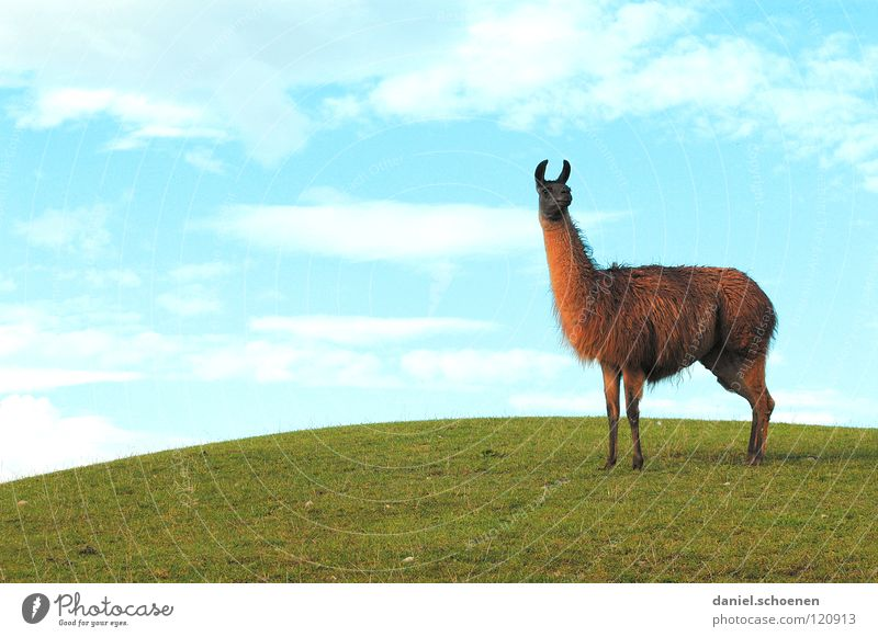 Sky Green Blue Clouds Grass Weather Background picture Ear Hill Listening Americas Mammal Cyan South America Animal Llama