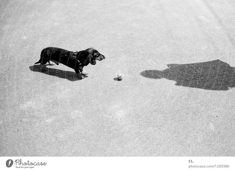 expectations Leisure and hobbies Playing Human being 1 Beautiful weather Animal Pet Dog Dachshund Ball Wait Curiosity Cute Joy Love of animals Patient