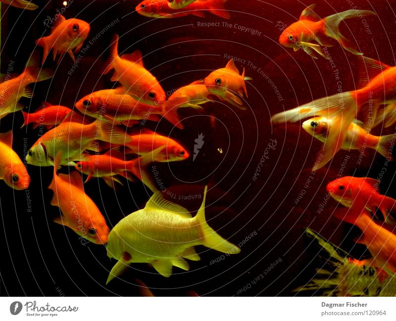 Water Red Ocean Animal Yellow Life Lake Friendship Together Orange Wet Gold Fish Multiple Leisure and hobbies Swimming & Bathing