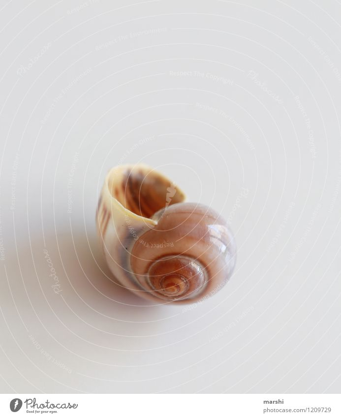 Singel Apartment Nature Animal Snail 1 Brown Snail shell Individual Expressionless Decoration Colour photo Subdued colour Interior shot Studio shot Close-up