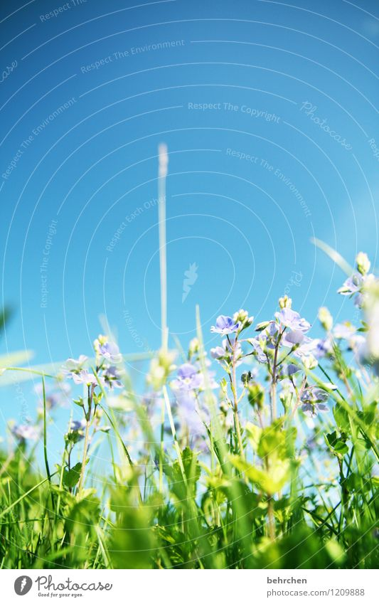 toward heaven Nature Plant Sky Spring Summer Beautiful weather Flower Grass Leaf Blossom Wild plant Veronica Garden Park Meadow Field Blossoming Fragrance Faded